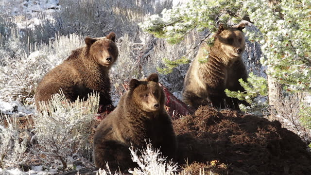 MS  shot of three grizzly bears  (Ursus arctos horribilis) sitting on a moose carcass in a frost covered sagebrush meadow
