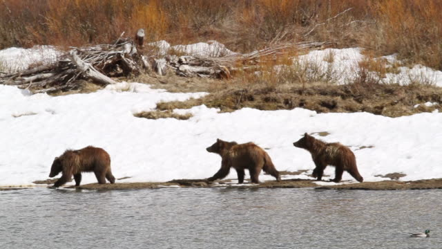 ms ts shot of three grizzly bears walking along snake river / tetons, wyoming, united states - snake river stock videos & royalty-free footage