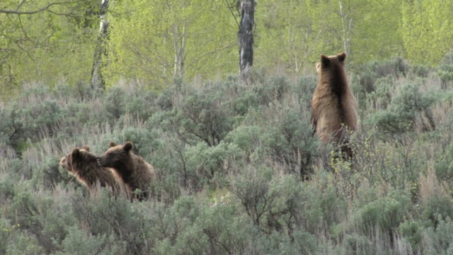 vidéos et rushes de ms shot of three grizzly cubs standing and looking in sage / tetons, wyoming, united states - trois animaux
