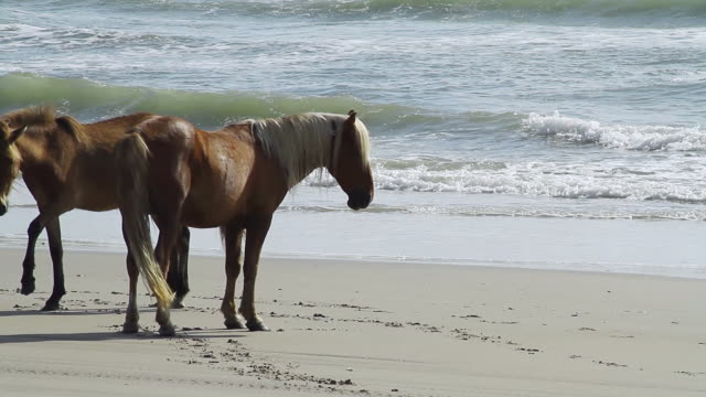 ws pan shot of three horses standing on beach and waves crashing beach / rodanthe, north carolina, united states - wiese stock videos & royalty-free footage