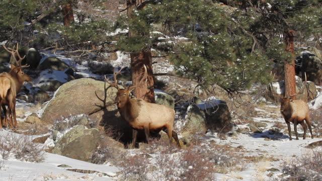 stockvideo's en b-roll-footage met ms shot of three large bull elk sparring on snowy hillside / estes park, colorado, united states - estes park