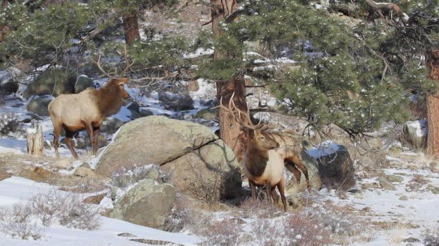stockvideo's en b-roll-footage met ms pan shot of three large bull elk walking on snow covered hillside / estes park, colorado, united states - estes park