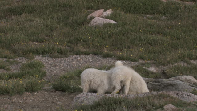 MS PAN Shot of three mountain goat kids jumping and playing on tundra / Idaho Springs, Colorado, United States