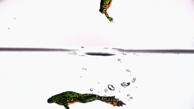 vídeos de stock e filmes b-roll de ms slo mo shot of three red-bellied toads jumping into water, one swims out and two staying above surface / studio, new jersey, united states - sapo