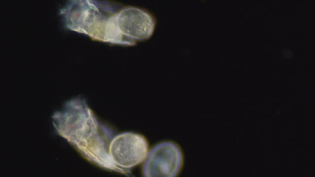 ecu r/f slo mo shot of three rotifer keratella with eggs / newcastle emlyn, ceredigion, united kingdom - hygiene stock videos and b-roll footage