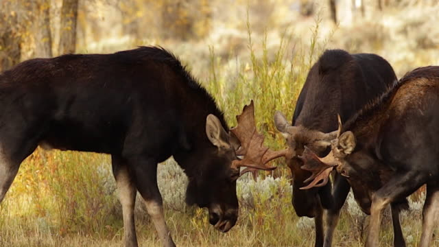 stockvideo's en b-roll-footage met ms/slomo  shot of three small bull moose (alces alces) sparring during the fall rut - vechten