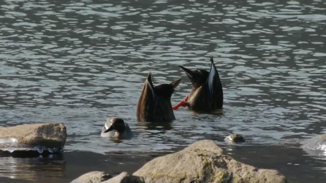vídeos de stock, filmes e b-roll de shot of three spot-billed ducks doing duck dive for searching prey - grupo pequeno de animais