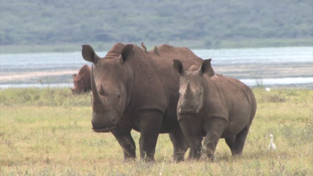 WS ZO Shot of  three white rhinos  grazing / Unspecified, Western Cape, South Africa