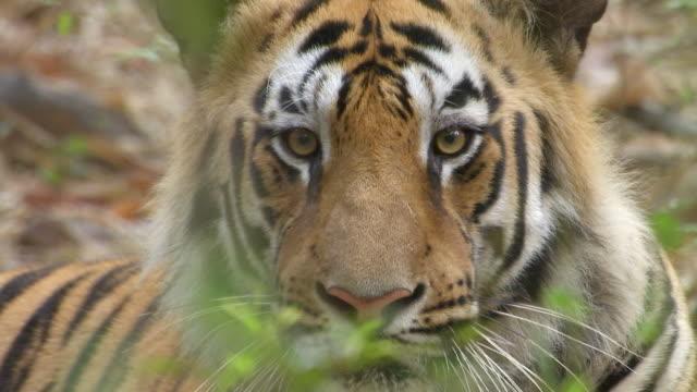 """CU Shot of tiger face / Chandrapur, Maharashtra, India"""