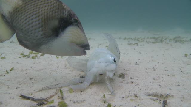 cu shot of titan triggerfish eating squid / mabul, sabah, malaysia   - mabul island stock videos and b-roll footage