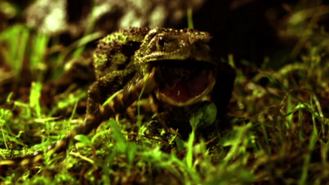 Shot of toad eating a centipede