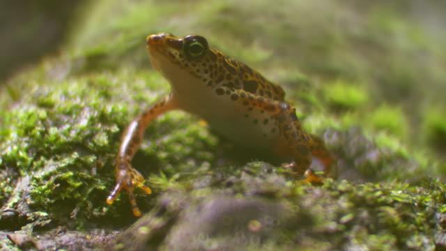 cu shot of toad mountain harlequin frog sits quietly then jumps out of frame / panama - pälsteckning bildbanksvideor och videomaterial från bakom kulisserna