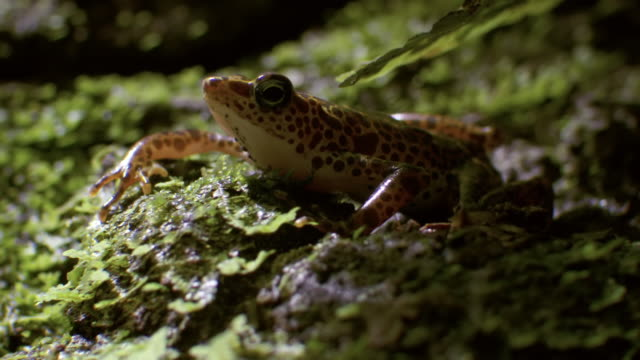 ms ts shot of toad mountain harlequin frog sits still on mossy rocks / panama - tierfarbe stock-videos und b-roll-filmmaterial