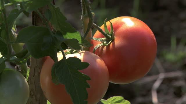 vídeos y material grabado en eventos de stock de cu shot of tomato plant / frankfurt, hessse, germany - tomate