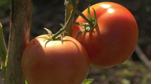cu t/l shot of tomato plant / frankfurt, hessse, germany - tomato stock videos & royalty-free footage