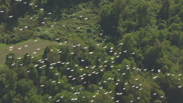vidéos et rushes de ws aerial ts zi shot of tracking flock of pelicans flying over farmland and mississippi river en route west of tiptonville in new madrid county / missouri, united states - fleuve mississippi