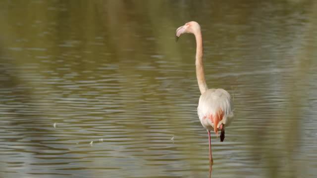 cu r/f  slo mo shot of tree branches to greater flamingo standing on one leg / slimbridge, gloucester, united kingdom - auf einem bein stock-videos und b-roll-filmmaterial