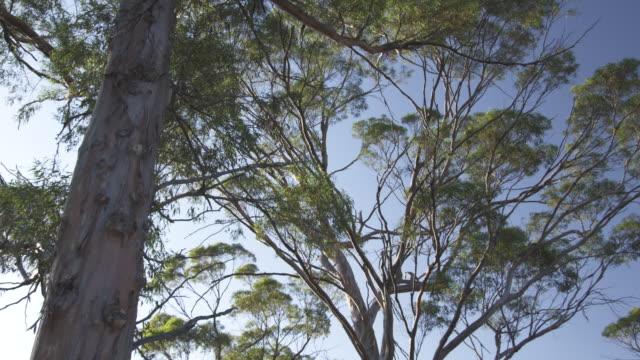 MS TD  Shot of tree / Charles Darwin Reserve, Western Australia, Australia