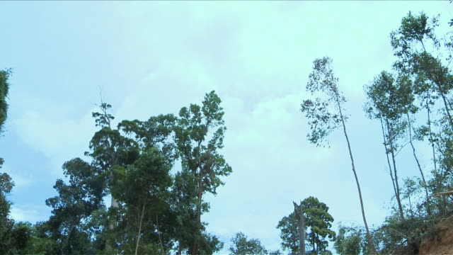 ms shot of tree falling down / kota marudu, sabah, malaysia   - moving down stock videos & royalty-free footage