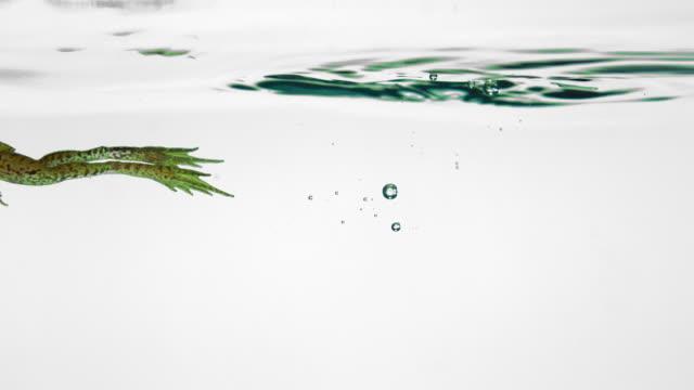 vídeos y material grabado en eventos de stock de cu slo mo shot of tree frog jumping into water and swimming out / studio, new jersey, united states - rana