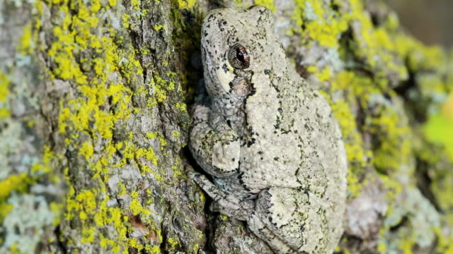 cu shot of tree frog on maple tree / tweed, ontario, canada - 迷彩柄点の映像素材/bロール