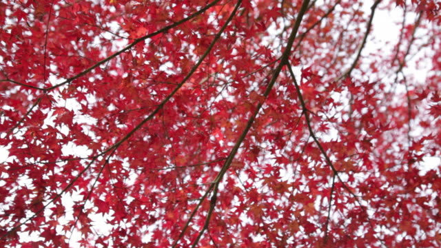 ms pan shot of tree / kyoto, japan - 40 seconds or greater stock videos & royalty-free footage