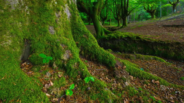 CU T/L ZO Shot of tree root in forest / Gorbeia, Bizkaia, Basque Country, Spain