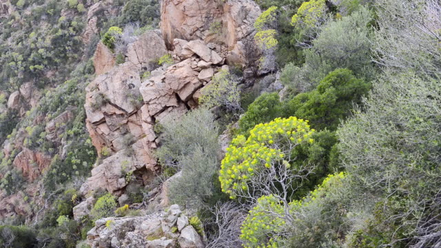 ms shot of tree spurge ( euphorbia dendroides ) on the mountains of the gulf of porto, unesco world heritage site / gulf of porto, corsica, france - ピアナ点の映像素材/bロール