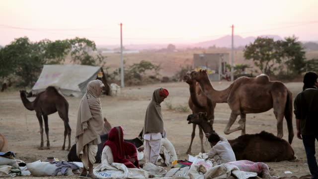 WS Shot of Tribesmen with camel herds Camel Fair / Pushkar, Rajasthan, India
