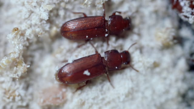 ms r/f shot of tribolium confused flour beetle is common pest insect known for attacking and infesting stored flour and grain / newcastle emlyn, ceredigion, united kingdom  - beetle stock videos & royalty-free footage
