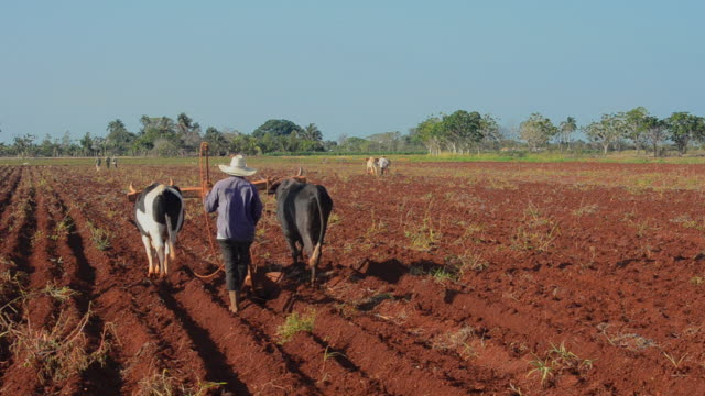 MS Shot of trinidad cuba farmer with traditional plow with oxen in rich cuban soil planting corn / Trinidad, Cuba