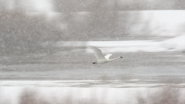 ms/slomo  shot of trumpeter swan (cygnus buccinator) taking flight in a snow blizzard - jackson hole stock-videos und b-roll-filmmaterial