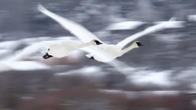 ts/slomo  shot of trumpeter swans (cygnus buccinator) flying in the fresh snow toward the camera - トラッキングショット点の映像素材/bロール