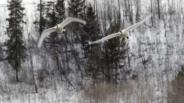 MS/SLOMO  shot of trumpeter swans (Cygnus buccinator) flying toward the camera at dusk
