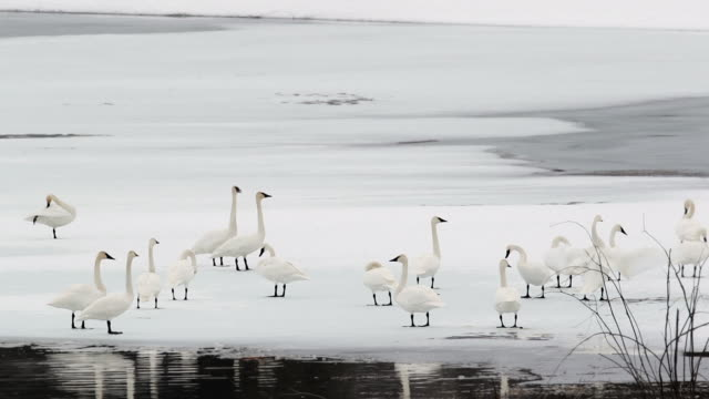 WS  shot of trumpeter swans (Cygnus buccinator) gathering on the fresh snow at dusk