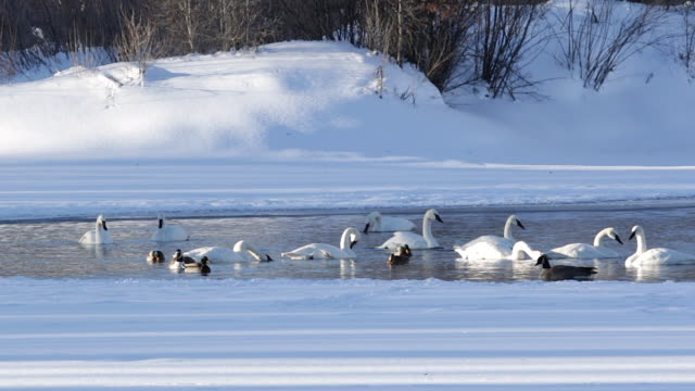 MS  shot of trumpeter swans (Cygnus buccinator) swimming in a lake surrounded by fresh snow, at twilight