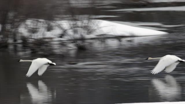 MS/SLOMO  shot of trumpeter swans (Cygnus buccinator) taking flight at dusk