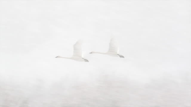ms/slomo  shot of trumpeter swans (cygnus buccinator) taking flight in a snow blizzard - jackson hole stock-videos und b-roll-filmmaterial