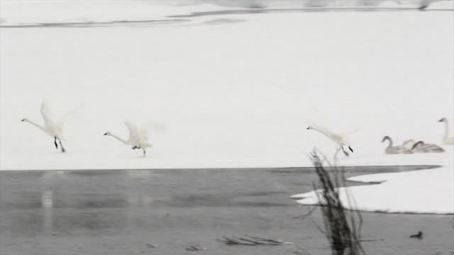 WS/SLOMO  shot of trumpeter swans (Cygnus buccinator) taking flight in a snow blizzard