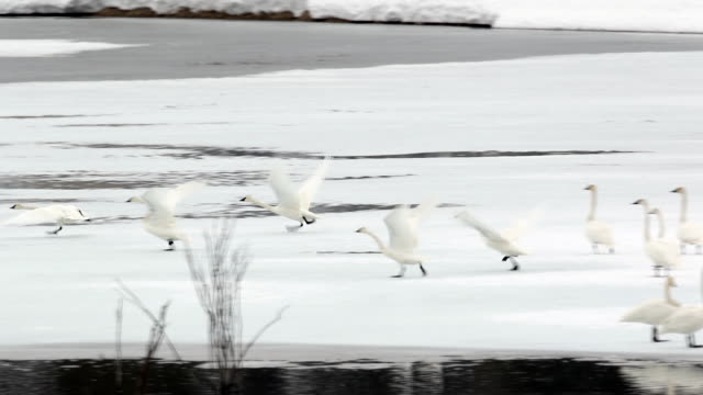 WS/SLOMO  shot of trumpeter swans (Cygnus buccinator) taking flight through the fresh snow at dusk