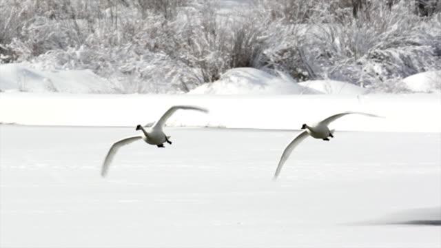 MS/SLOMO  shot of trumpeter swans (Cygnus buccinator) taking flight through the fresh snow toward the camera