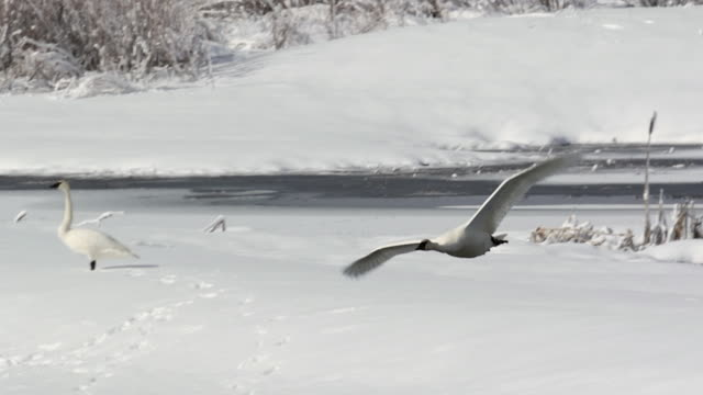 MS/SLOMO  shot of trumpeter swans (Cygnus buccinator) taking flight through the fresh snow toward the camera