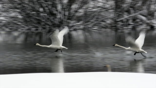 ms/slomo  shot of trumpeter swans (cygnus buccinator) taking flight through the fresh snow - cigno video stock e b–roll