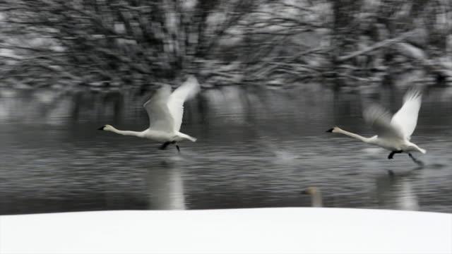 MS/SLOMO  shot of trumpeter swans (Cygnus buccinator) taking flight through the fresh snow