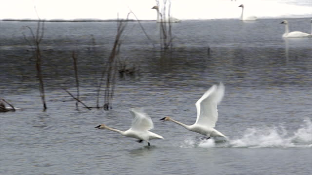 MS/SLOMO  shot of trumpeter swans (Cygnus buccinator) taking off, running on top of the water