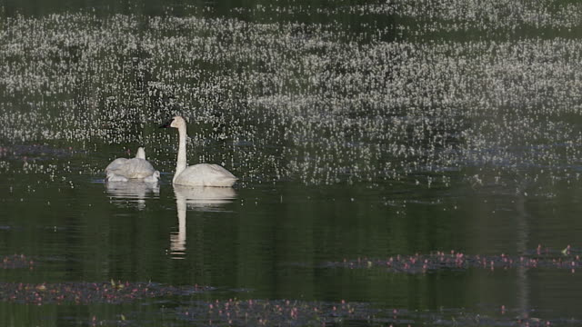 MS 4K shot of trumpeter swans with tiny cygnets (Cygnus buccinator) swimming in a pond at sunrise