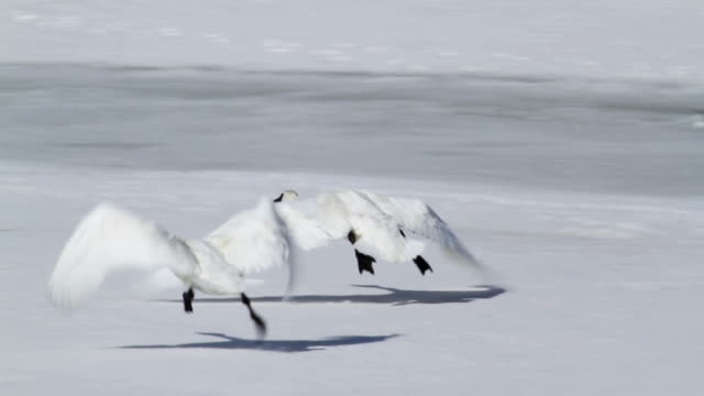 ms ts shot of trumpter swans taking off from frozen river / tetons, wyoming, united states - cigno video stock e b–roll