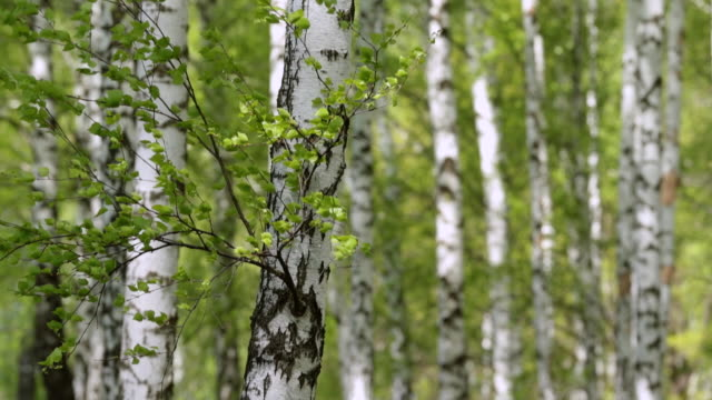 MS Shot of trunks of birch trees in spring day / Moscow, Russia