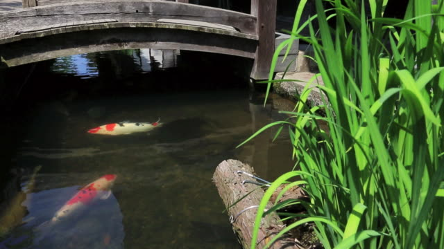 ms tu shot of tsuwano town, carps in moat / tsuwano, shimane prefecture, japan  - 堀点の映像素材/bロール