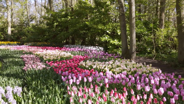 ws shot of tulip fields at keukenhof gardens / lisse, south holland, netherlands - tulip stock videos and b-roll footage
